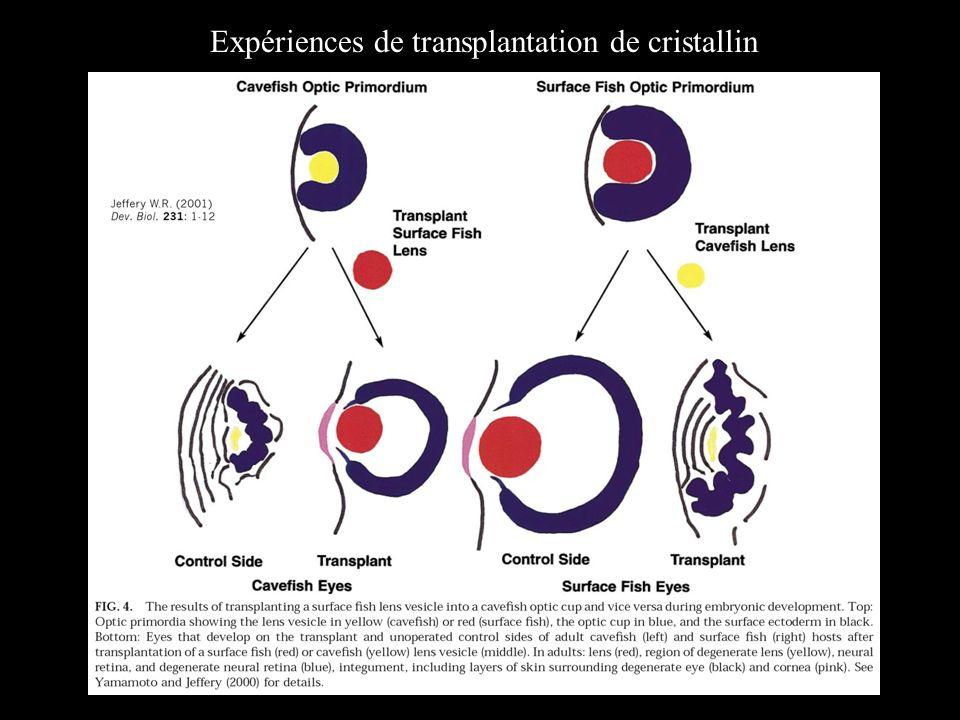 Expériences de transplantation de cristallin