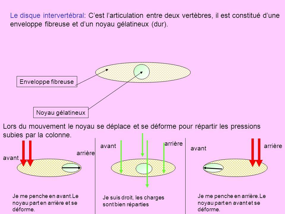 Le disque intervertébral: C'est l'articulation entre deux vertèbres, il est constitué d'une enveloppe fibreuse et d'un noyau gélatineux (dur).