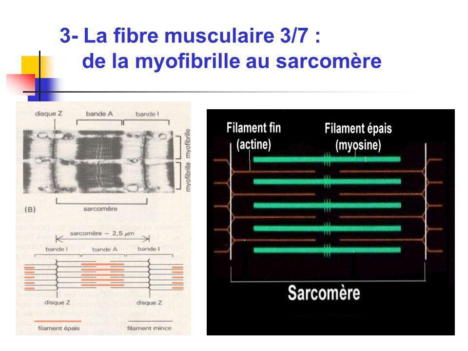 3- La fibre musculaire 3/7 : de la myofibrille au sarcomère