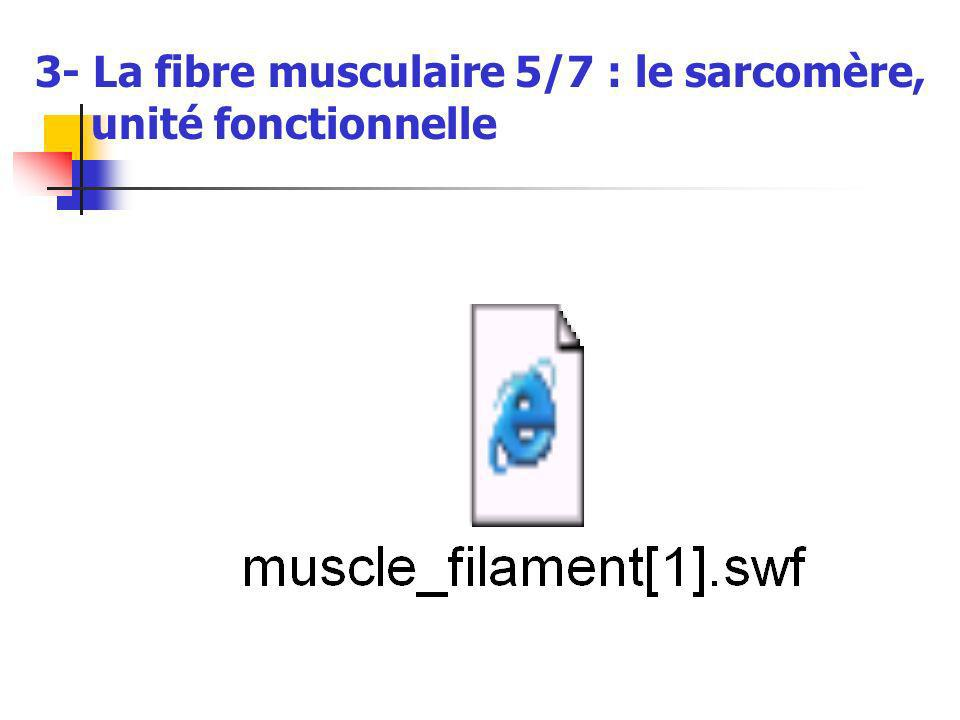 3- La fibre musculaire 5/7 : le sarcomère, unité fonctionnelle