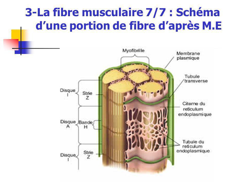 3-La fibre musculaire 7/7 : Schéma d'une portion de fibre d'après M.E