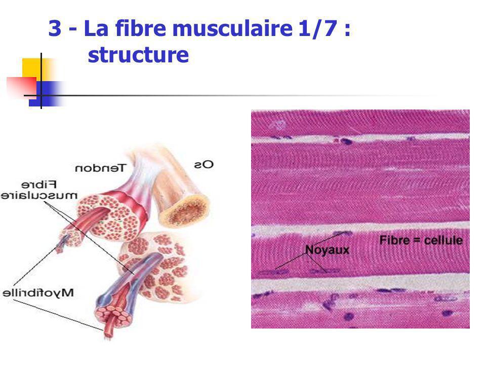 3 - La fibre musculaire 1/7 : structure