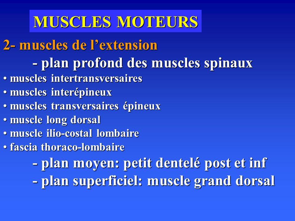 MUSCLES MOTEURS 2- muscles de l'extension