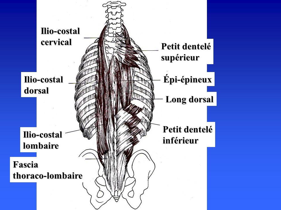 Ilio-costal cervical Petit dentelé supérieur. Ilio-costal dorsal. Épi-épineux. Long dorsal. Petit dentelé inférieur.