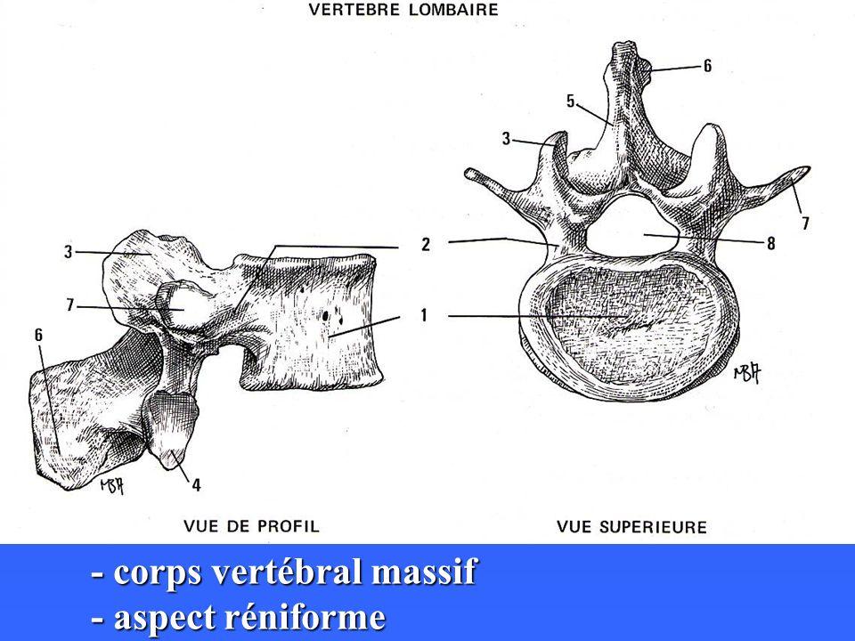 - corps vertébral massif