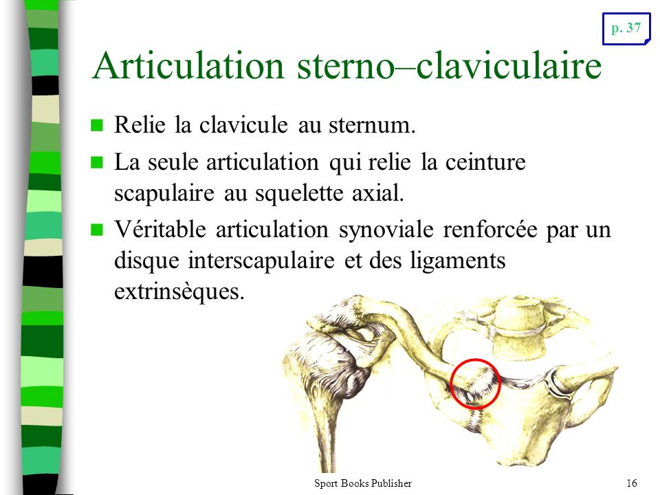 Articulation sterno–claviculaire
