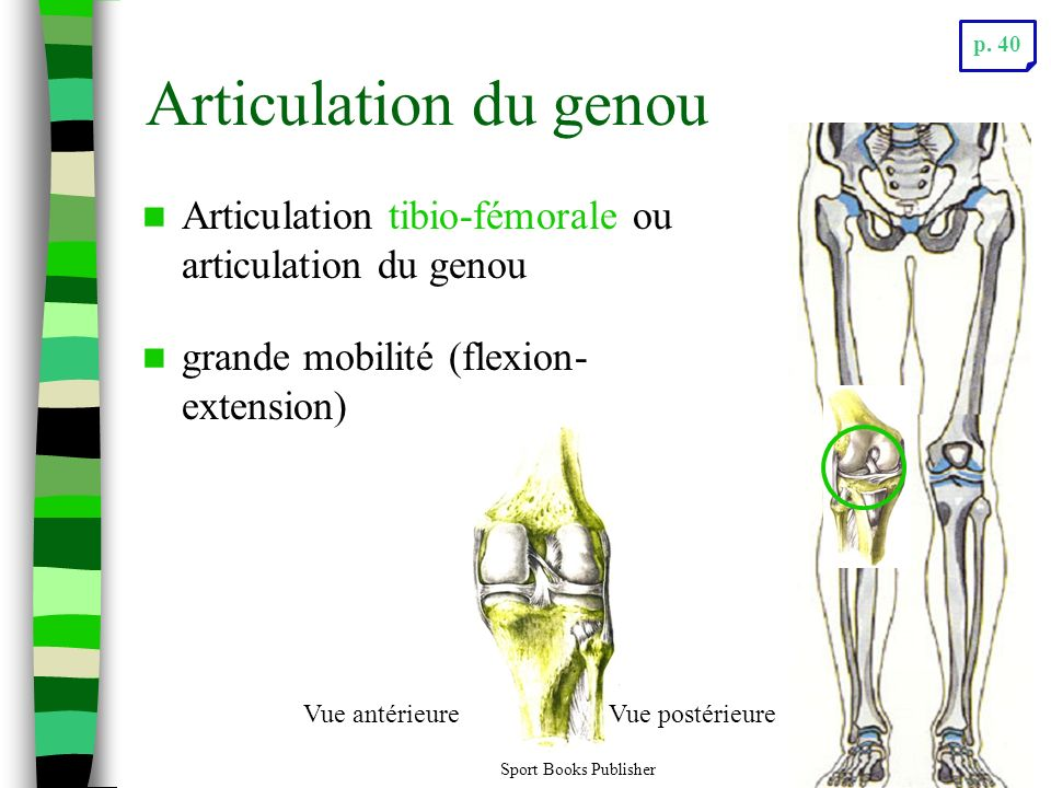 p. 40 Articulation du genou. Articulation tibio-fémorale ou articulation du genou. grande mobilité (flexion-extension)
