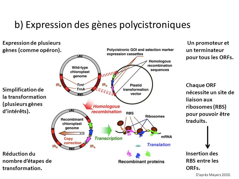 b) Expression des gènes polycistroniques