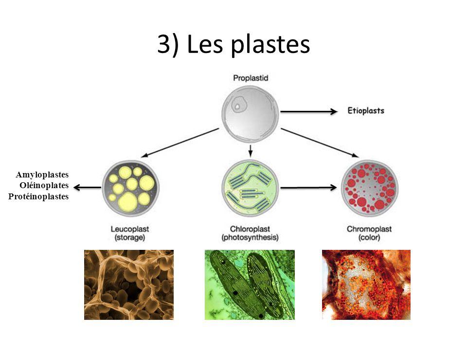 3) Les plastes Amyloplastes Oléinoplates Protéinoplastes