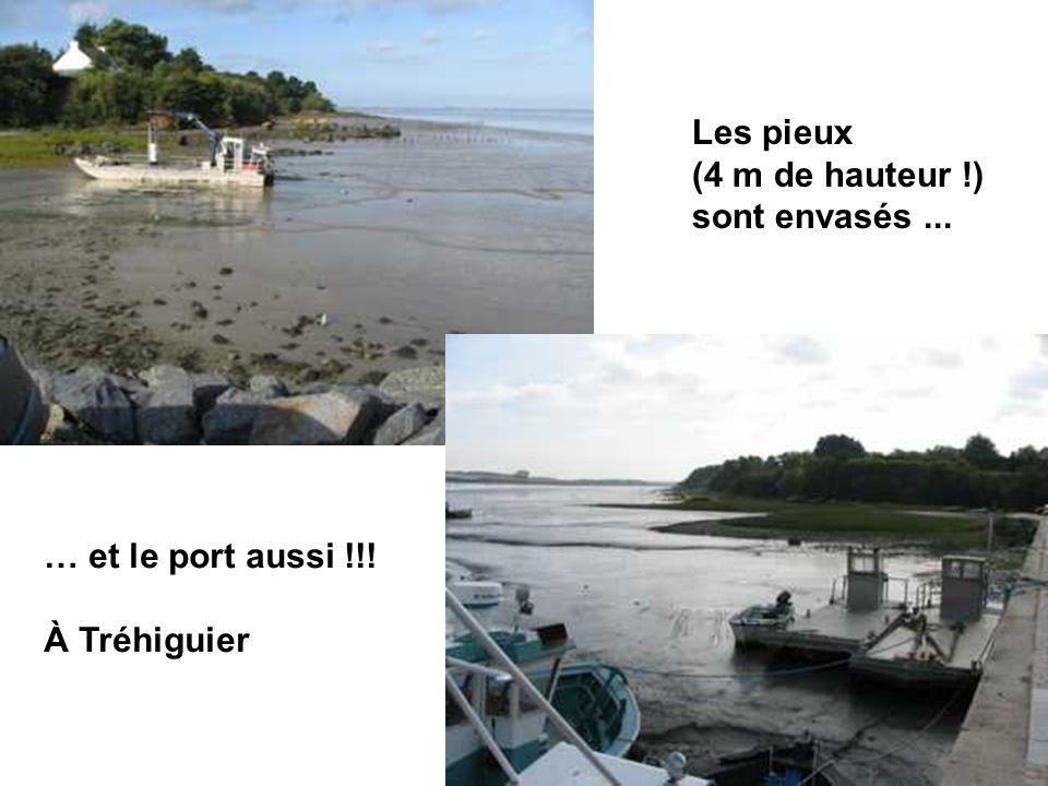 Les pieux (4 m de hauteur !) sont envasés ... … et le port aussi !!! À Tréhiguier