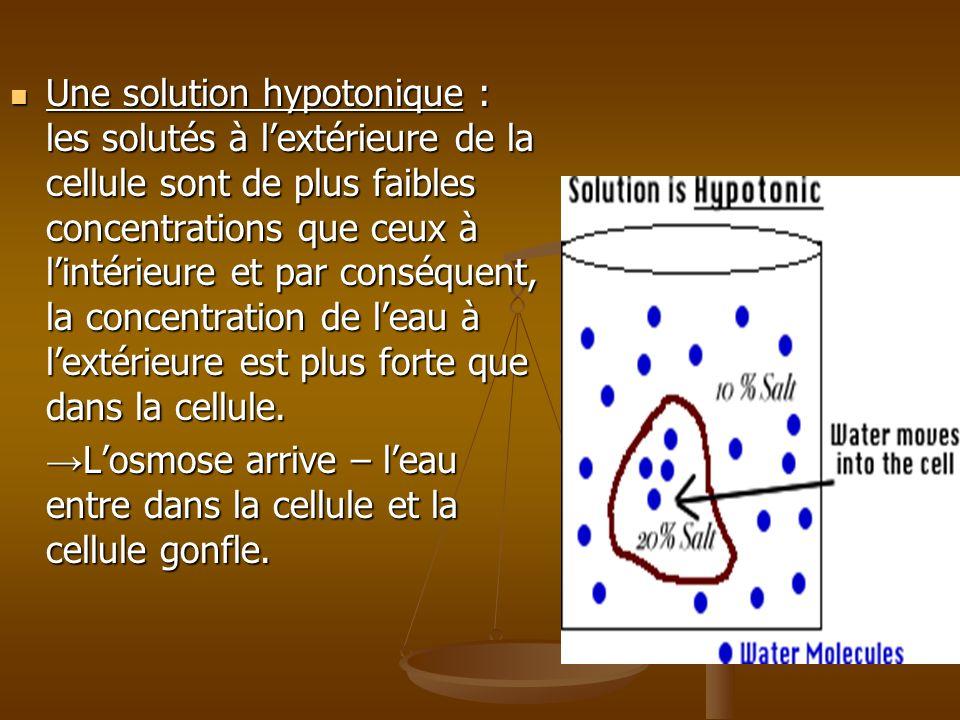 Une solution hypotonique : les solutés à l'extérieure de la cellule sont de plus faibles concentrations que ceux à l'intérieure et par conséquent, la concentration de l'eau à l'extérieure est plus forte que dans la cellule.