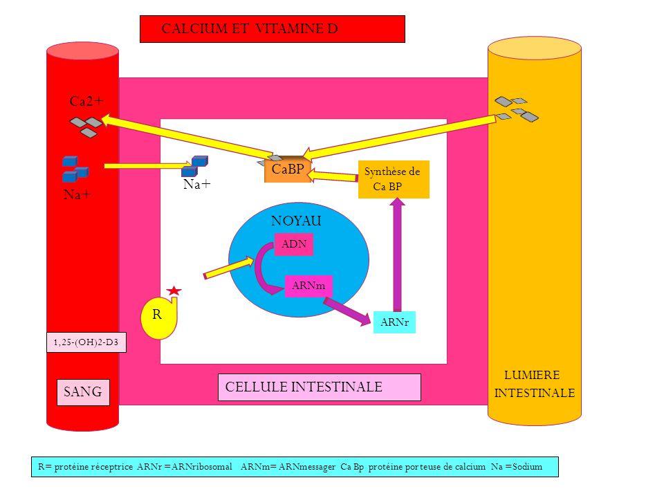 CALCIUM ET VITAMINE D Ca2+ CaBP Na+ Na+ NOYAU R CELLULE INTESTINALE