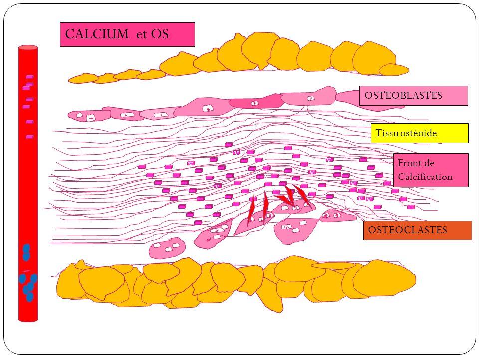 CALCIUM et OS OSTEOBLASTES Tissu ostéoide v Front de Calcification v