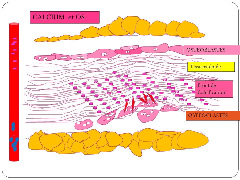 CALCIUM et OS OSTEOBLASTES Tissu ostéoide vvvvvvv v v vv vvv Front de