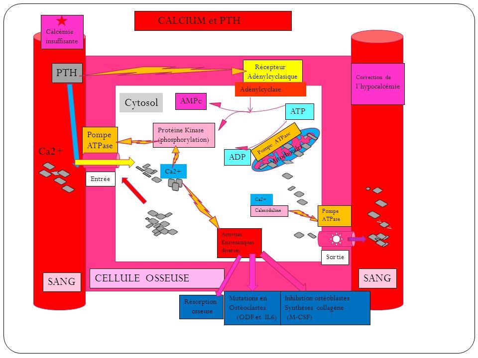 CALCIUM et PTH PTH Cytosol Ca2+ vv CELLULE OSSEUSE SANG SANG AMPc ATP