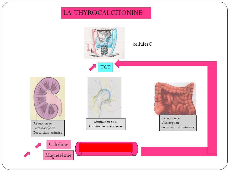 LA THYROCALCITONINE cellulesC TCT Calcémie Magnésémie Réduction de