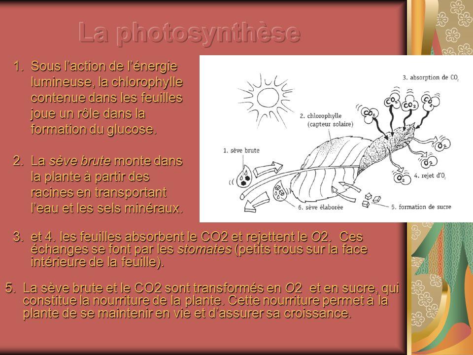 La photosynthèse Sous l'action de l'énergie lumineuse, la chlorophylle contenue dans les feuilles joue un rôle dans la formation du glucose.