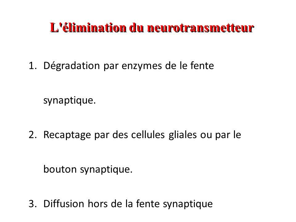 L élimination du neurotransmetteur