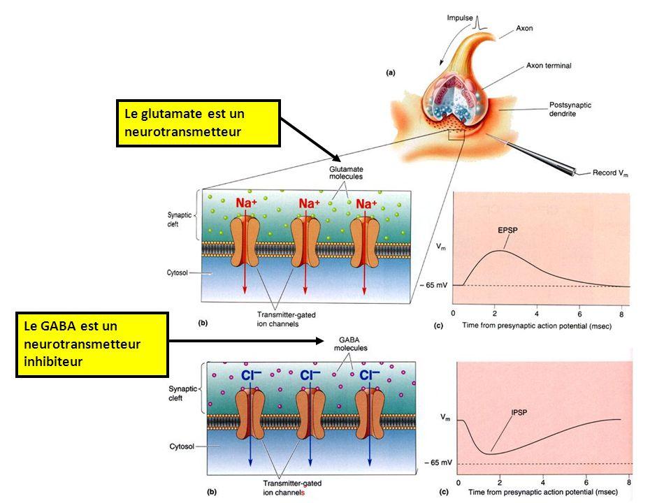 Le glutamate est un neurotransmetteur