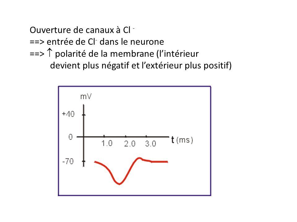 Ouverture de canaux à Cl - ==> entrée de Cl- dans le neurone