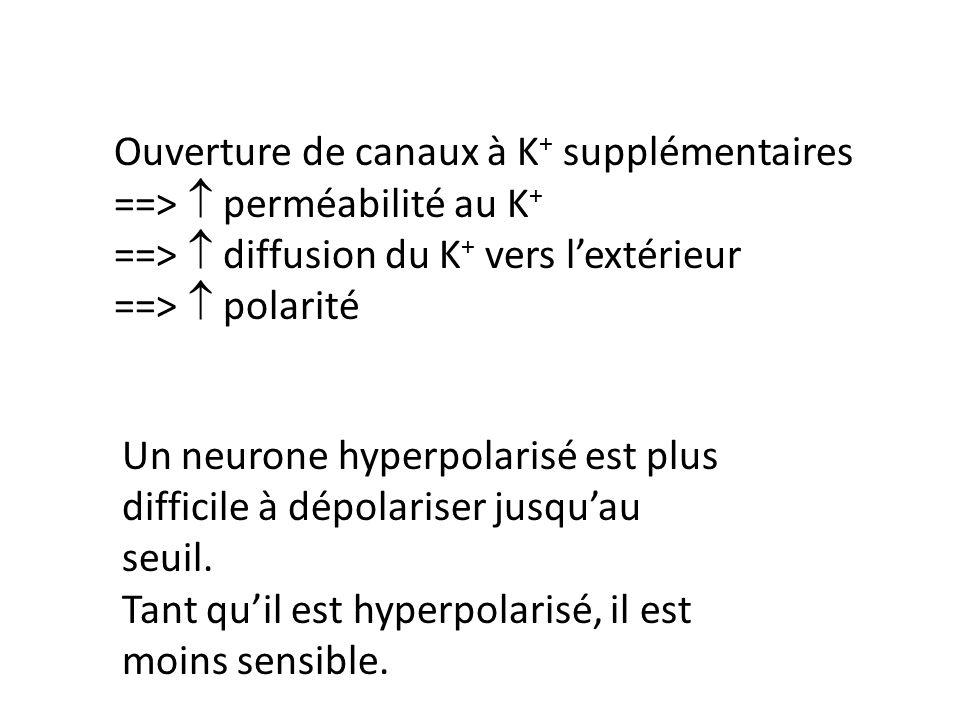 Ouverture de canaux à K+ supplémentaires ==>  perméabilité au K+