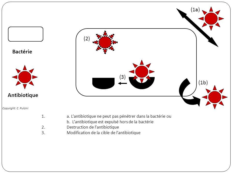 (1a) (2) Bactérie (3) (1b) Antibiotique