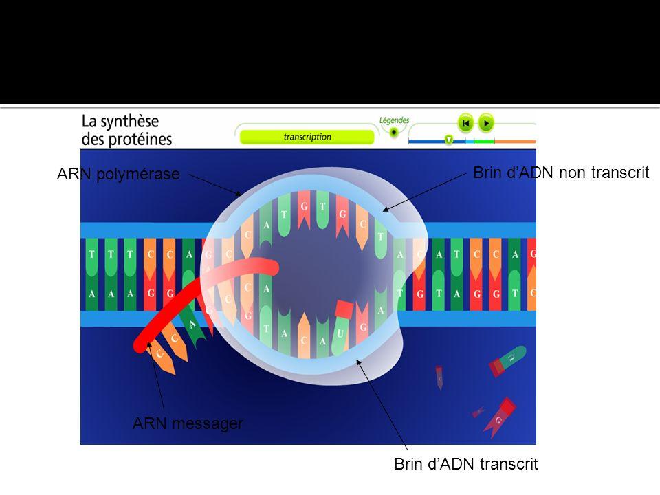 ARN polymérase Brin d'ADN non transcrit ARN messager Brin d'ADN transcrit