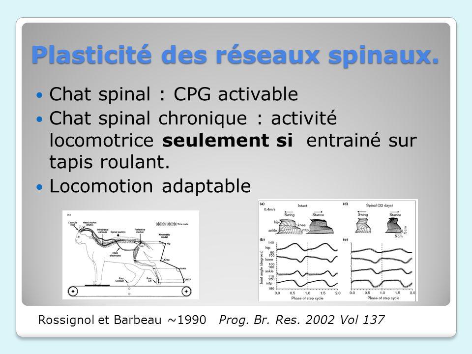 Plasticité des réseaux spinaux.