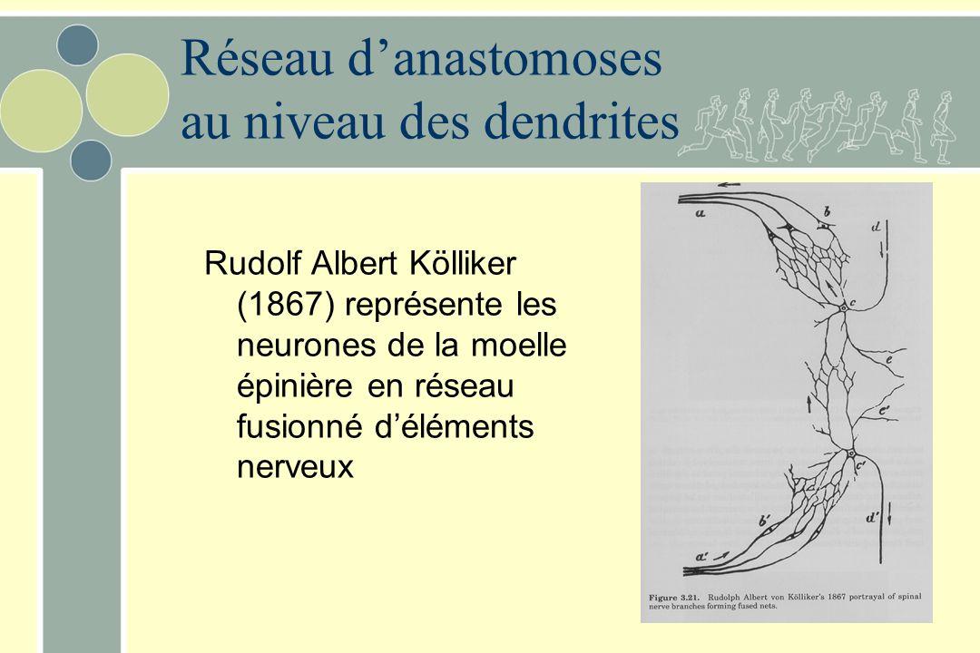 Réseau d'anastomoses au niveau des dendrites