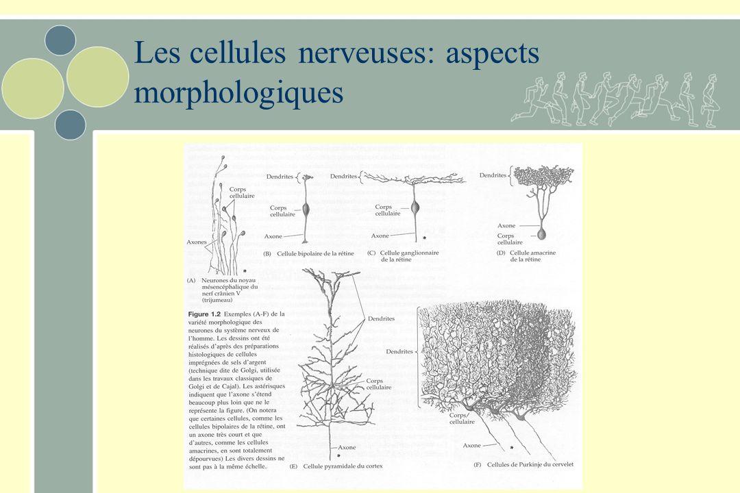 Les cellules nerveuses: aspects morphologiques