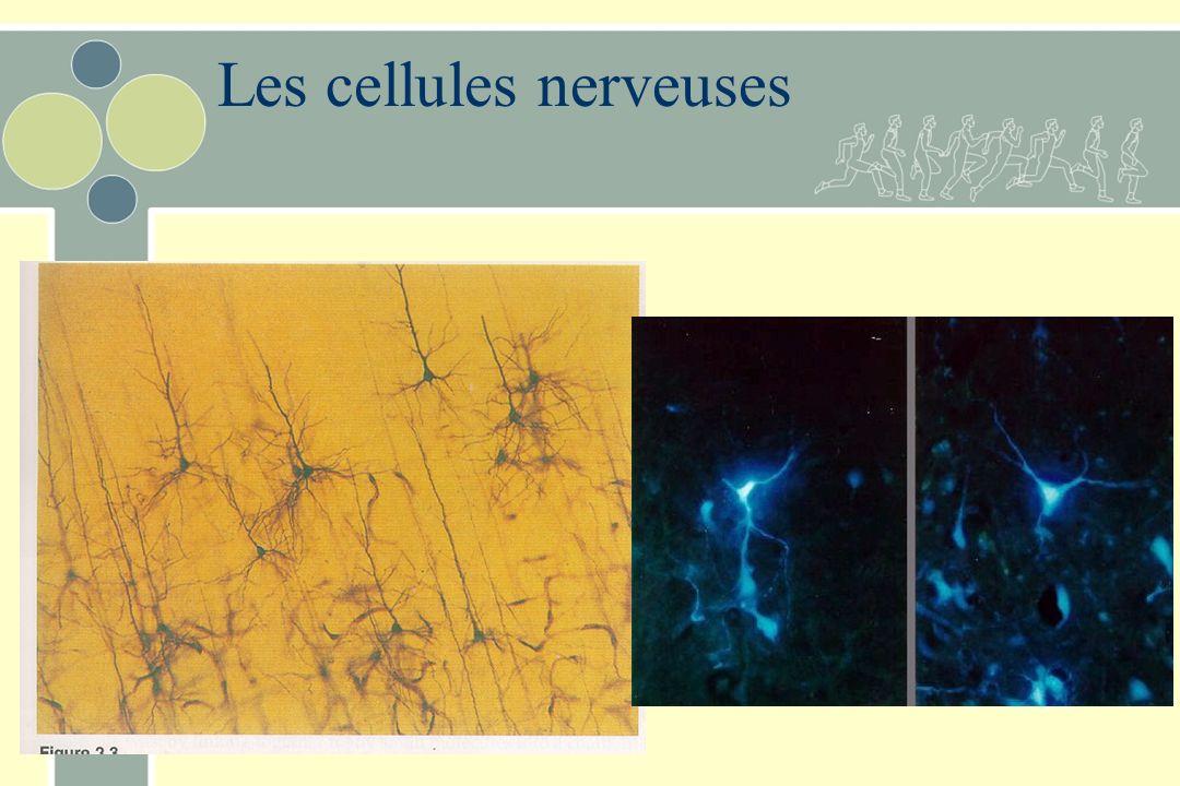 Les cellules nerveuses