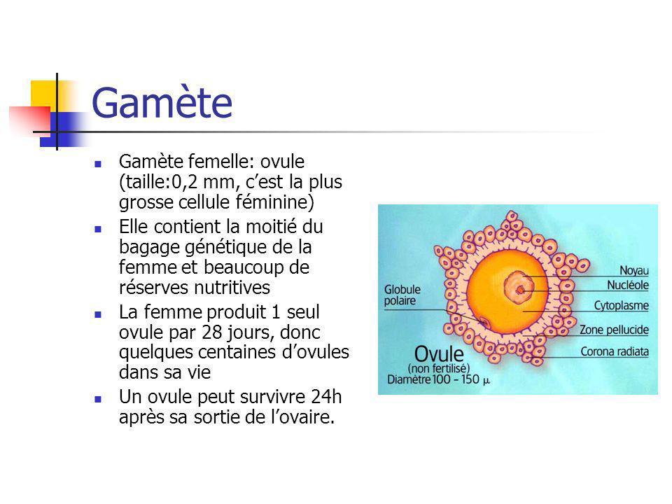 Gamète Gamète femelle: ovule (taille:0,2 mm, c'est la plus grosse cellule féminine)
