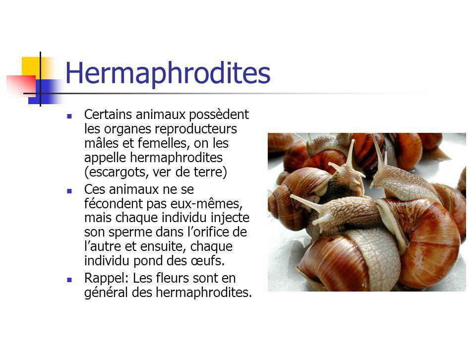 Hermaphrodites Certains animaux possèdent les organes reproducteurs mâles et femelles, on les appelle hermaphrodites (escargots, ver de terre)