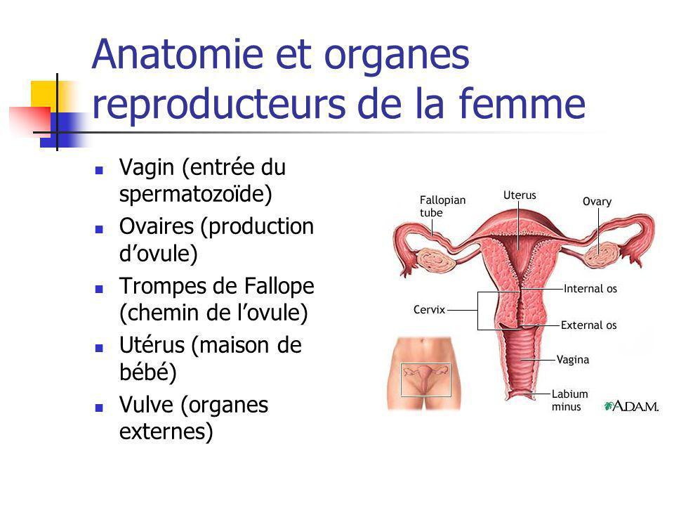 Anatomie et organes reproducteurs de la femme