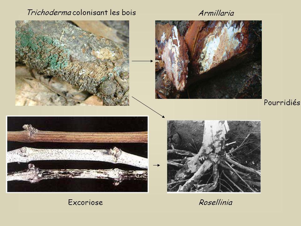 Trichoderma colonisant les bois