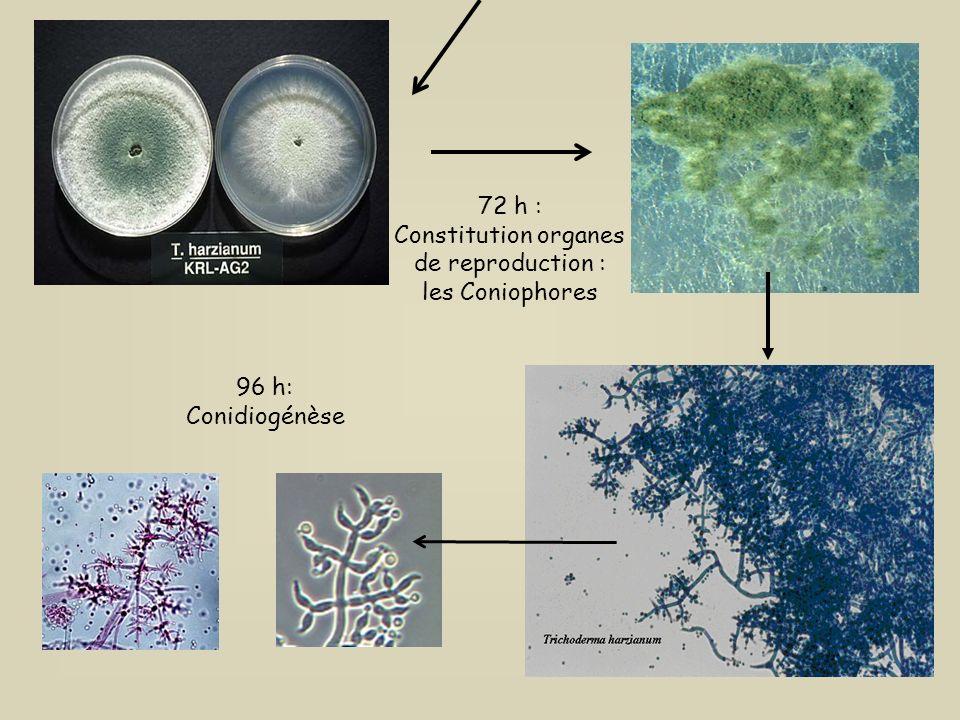 72 h : Constitution organes de reproduction : les Coniophores 96 h: Conidiogénèse