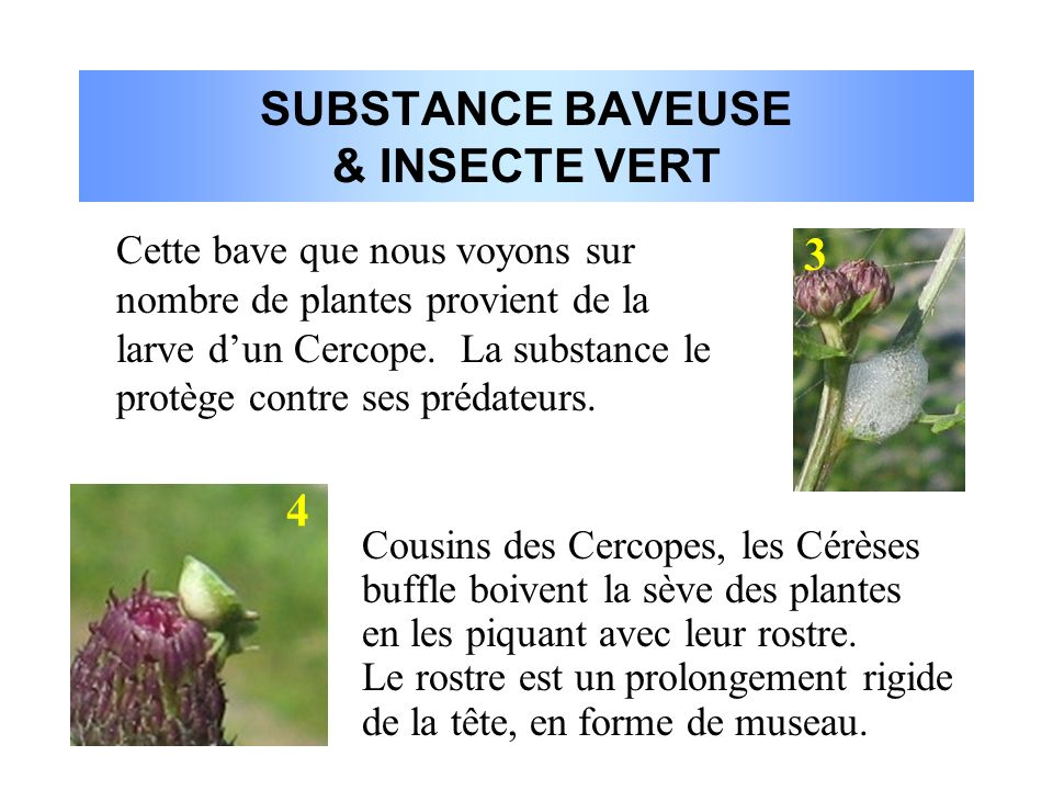 SUBSTANCE BAVEUSE & INSECTE VERT