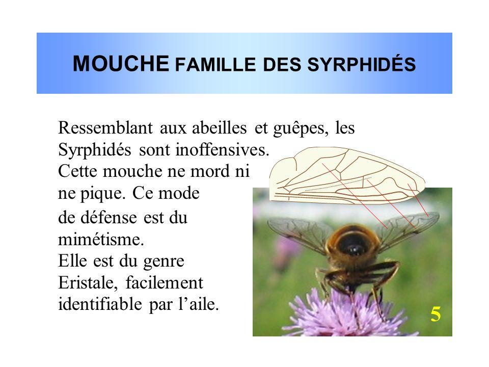 MOUCHE FAMILLE DES SYRPHIDÉS