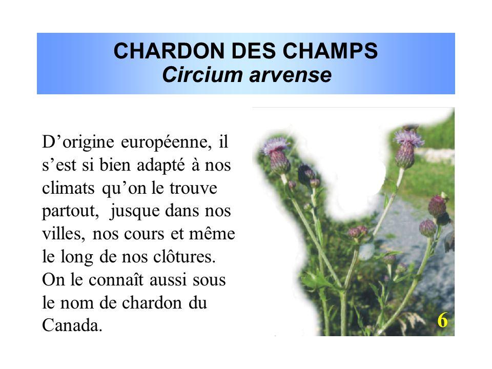 CHARDON DES CHAMPS Circium arvense