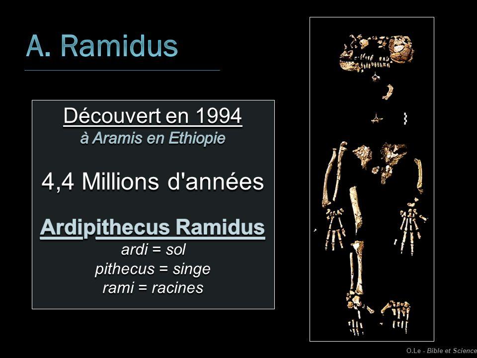 A. Ramidus 4,4 Millions d années Découvert en 1994