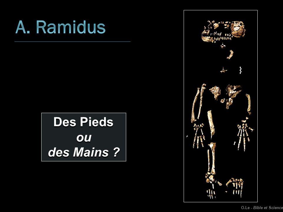 A. Ramidus Des Pieds ou des Mains O.Le - Bible et Science