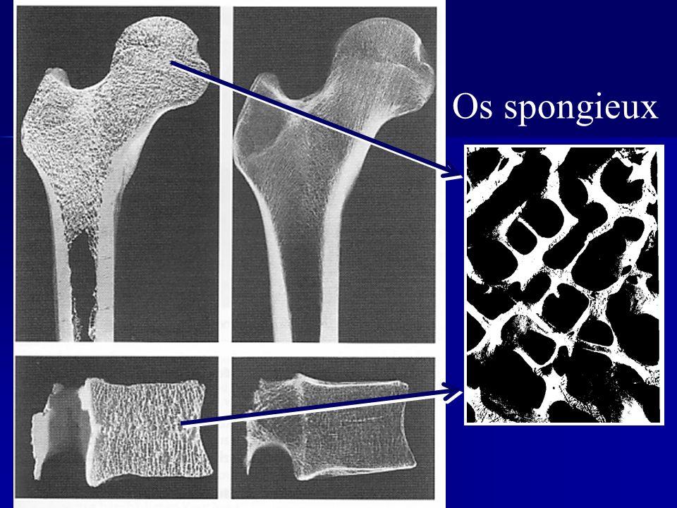 Os spongieux