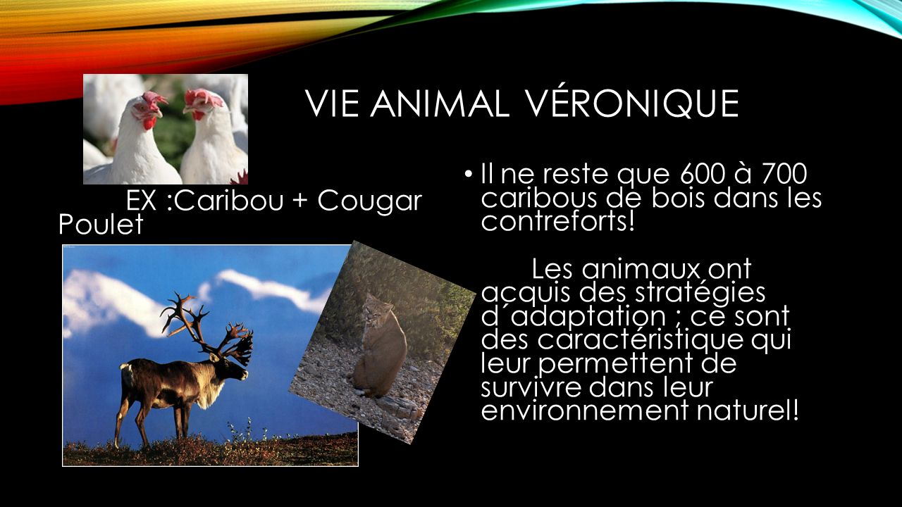 Vie Animal Véronique EX :Caribou + Cougar Poulet.