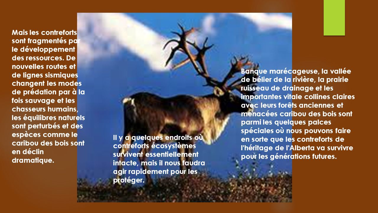 Mais les contreforts sont fragmentés par le développement des ressources. De nouvelles routes et de lignes sismiques changent les modes de prédation par à la fois sauvage et les chasseurs humains, les équilibres naturels sont perturbés et des espèces comme le caribou des bois sont en déclin dramatique.