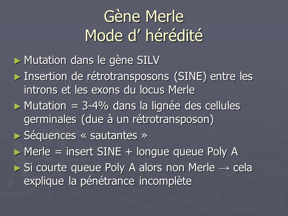 Gène Merle Mode d' hérédité