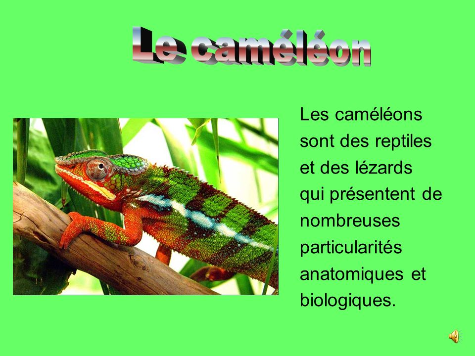 Le caméléon Les caméléons sont des reptiles et des lézards qui présentent de nombreuses particularités anatomiques et biologiques.