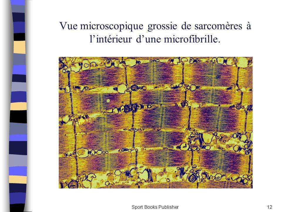 Vue microscopique grossie de sarcomères à l'intérieur d'une microfibrille.