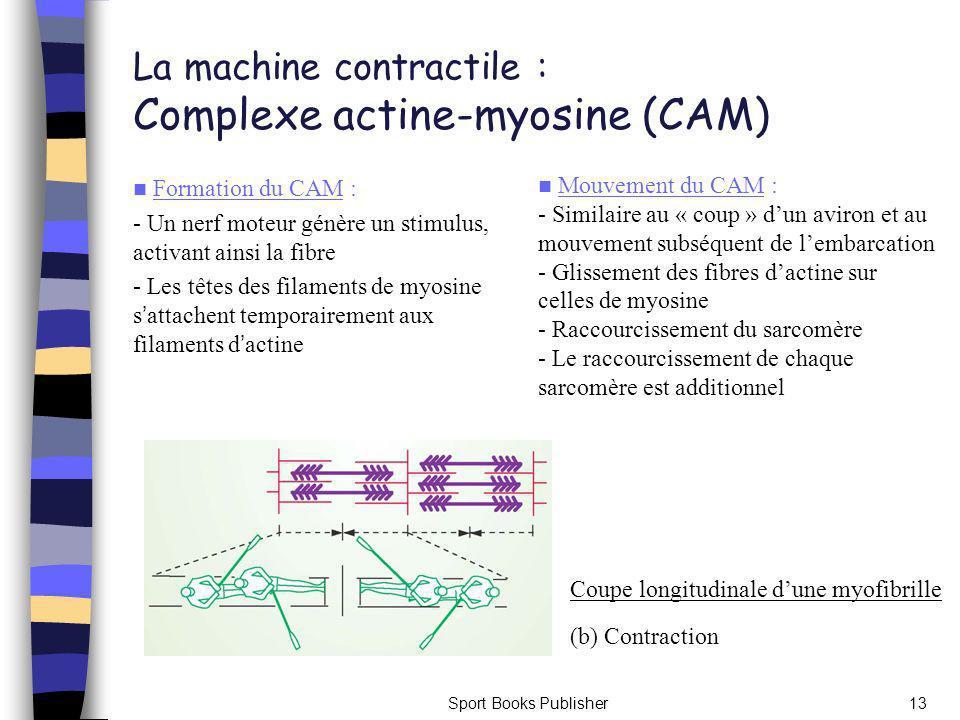 La machine contractile : Complexe actine-myosine (CAM)