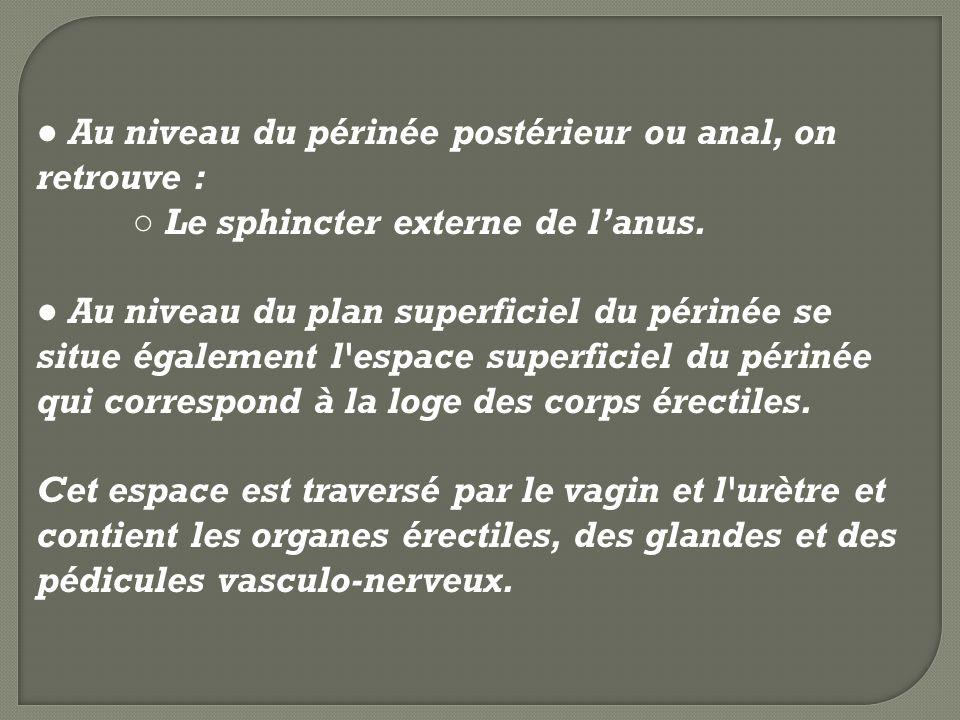 ● Au niveau du périnée postérieur ou anal, on retrouve :
