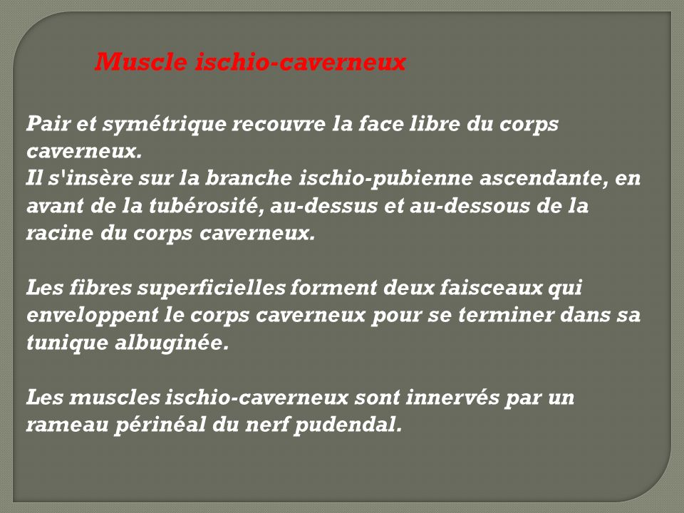 Muscle ischio-caverneux